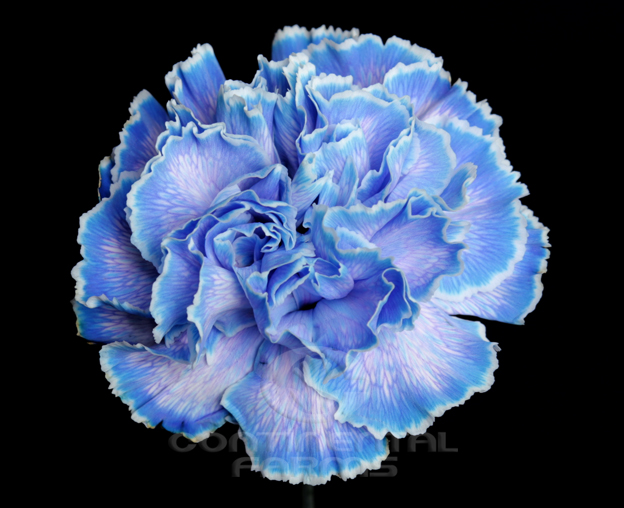 Carnation Tinted Blue Continental Farms